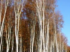Буковий ліс біля РЛГС