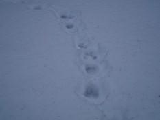 Сліди ведмедя в околицях ЧГС