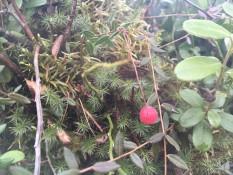 Брусниця в околицях верхового болота